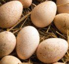 Утиные яйца: польза и вред, особенности приготовления